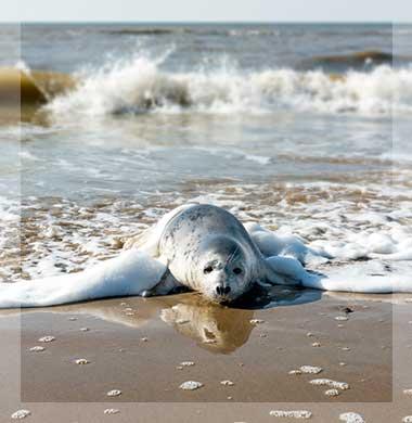 Zeezicht Verhuur Egmond zeehond in de branding