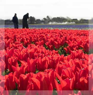 Zeezicht Verhuur Egmond bloembollenveld bakkum