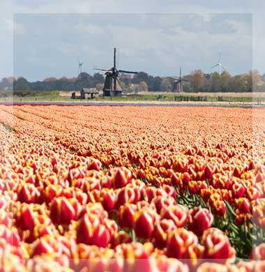 Zeezicht Verhuur Egmond bloembollenveld met molens